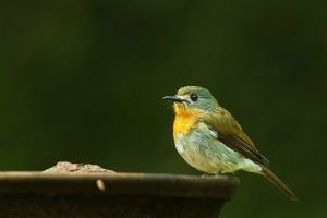 white_bellied_blue_flycatcher