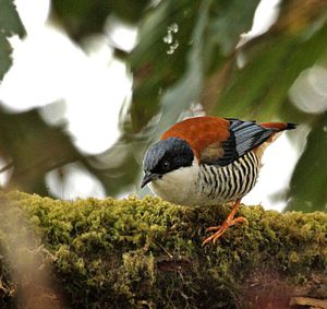 india_assam_arunachal_bird_tours