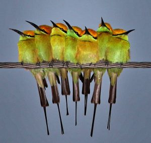 green_bee_eater_india