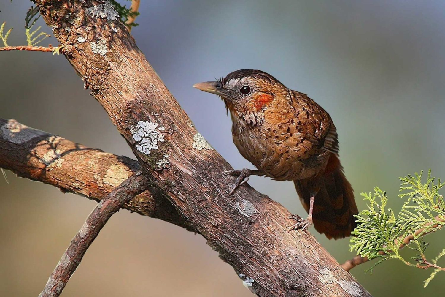 rufous_chinned_laughingthrush