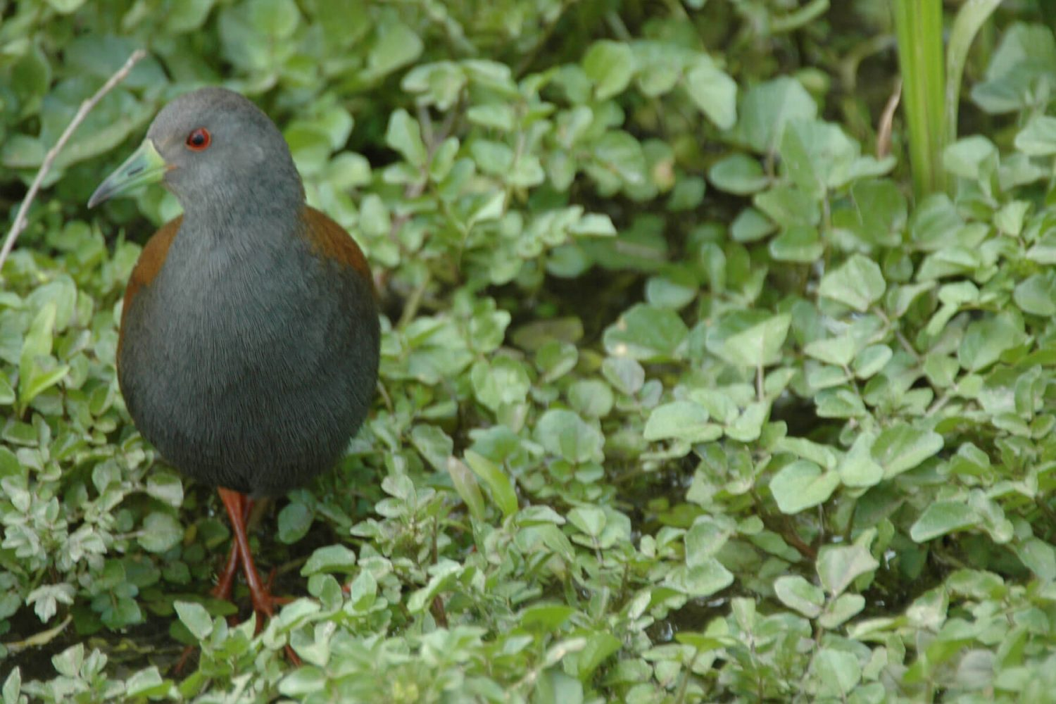 black_tailed_crake