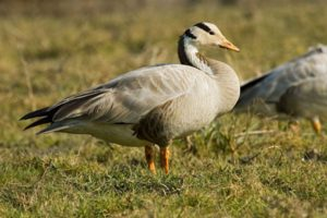 bar_headed_goose