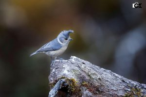grey_crested_tit