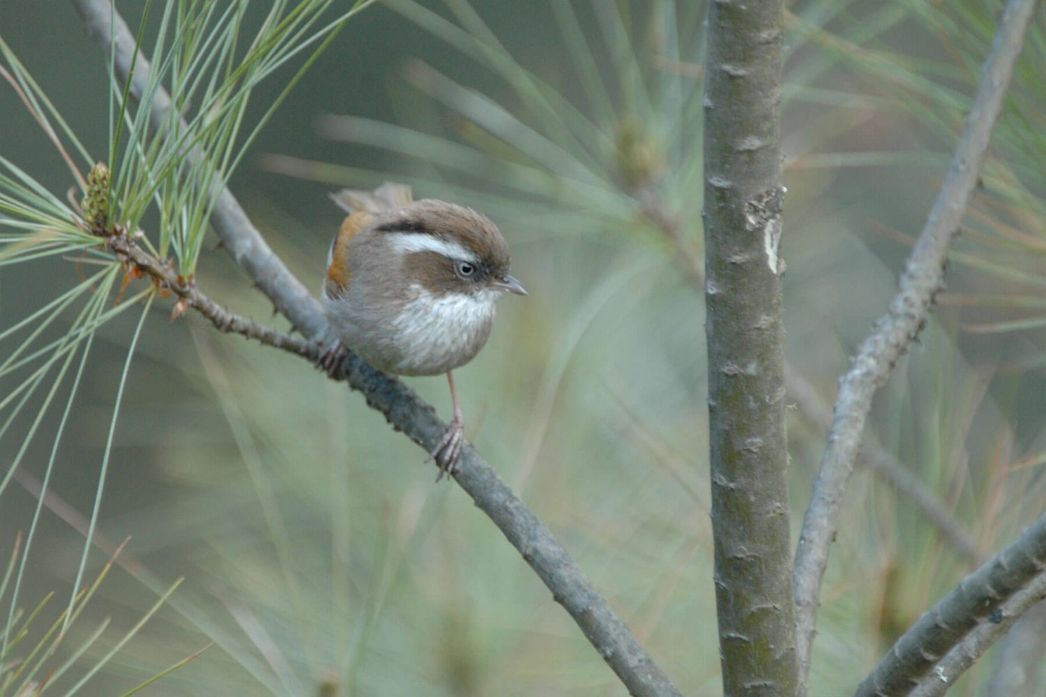 white_browed_fulvetta