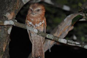 frogmouth_owl