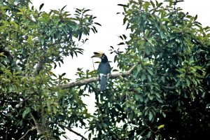 great_indian_hornbill