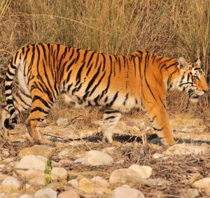 tiger_safaris_in_india