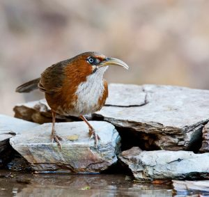 rusty_cheeked_cimitar_babbler