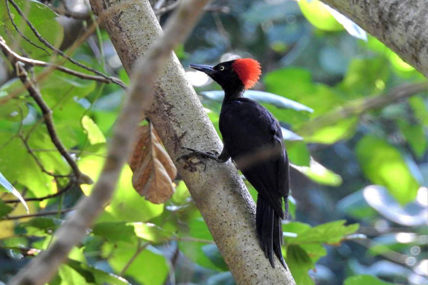andaman_woodpecker