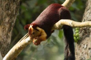 Indian_giant_squirrel