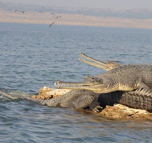 chambal_river_gharials