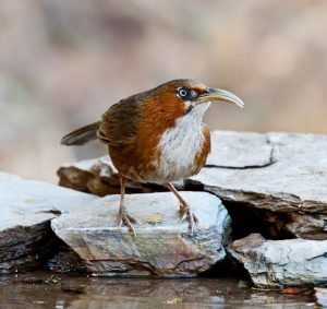 rusty_cheeked_scimitar_babbler