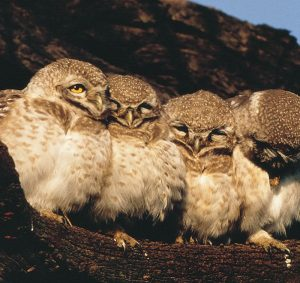 spotted_owls