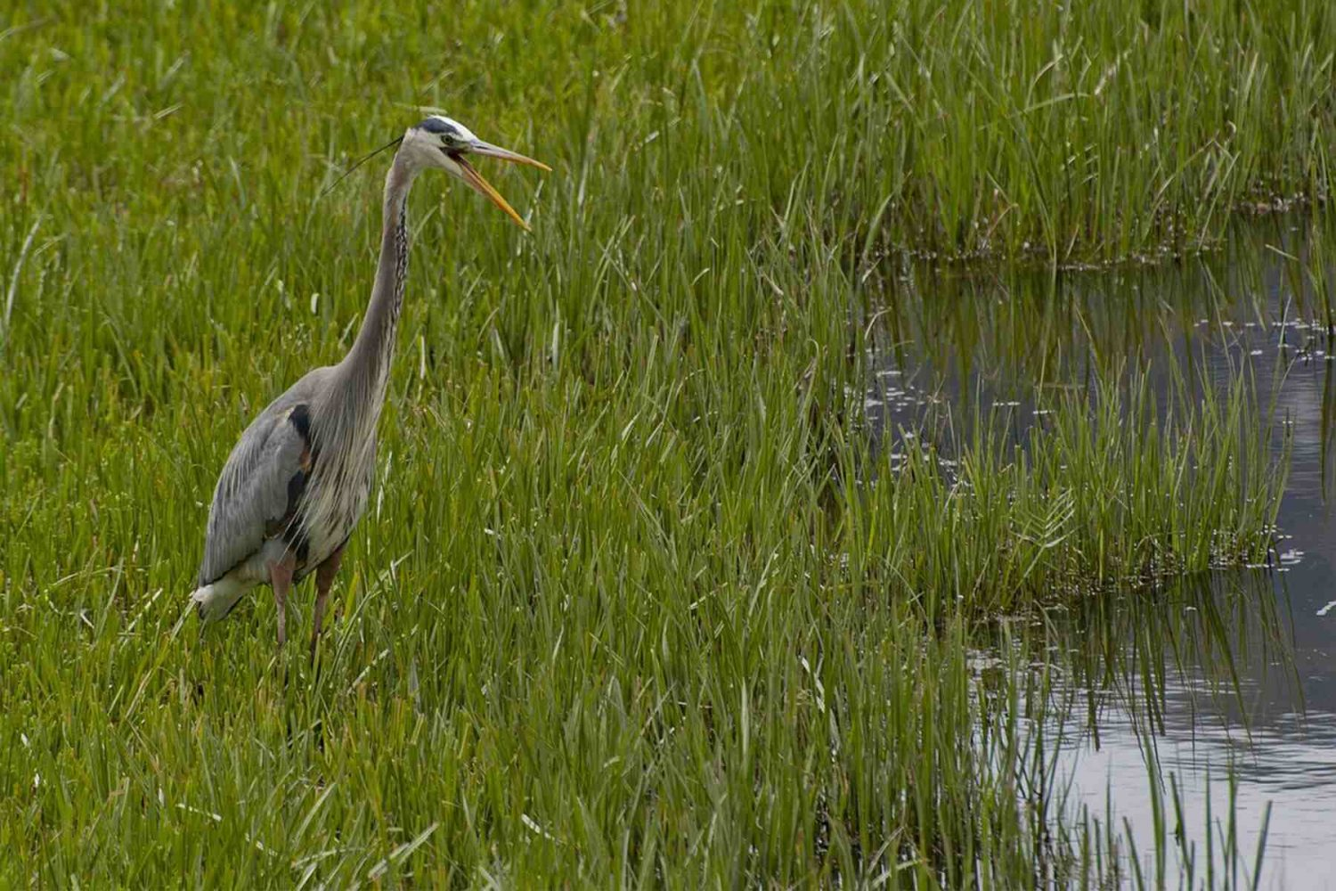 purple_heron_bird