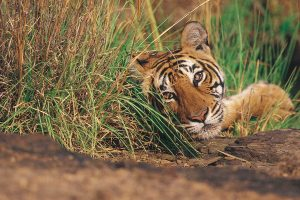 tiger_safari_in_jim_corbett
