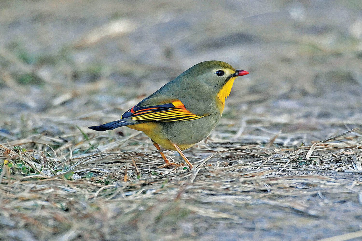 red_billed_leiothrix_1