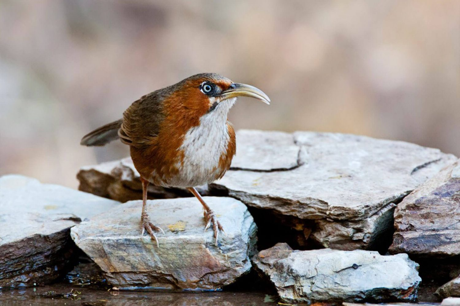 rusty_cheeked scimitar_babbler