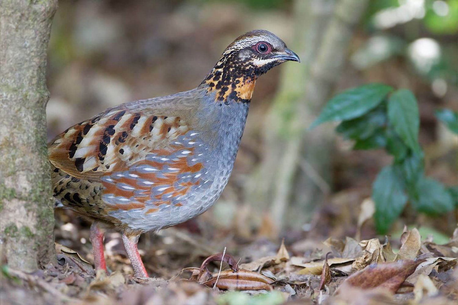 rufou_ throated_partridge