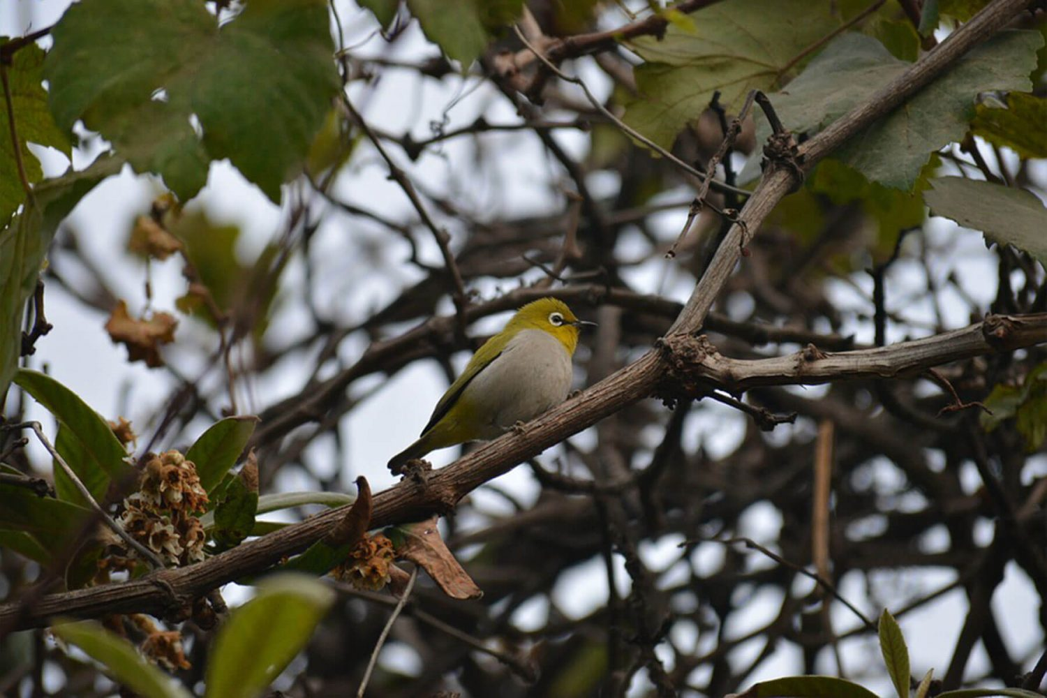 indian_oriental_white_eye
