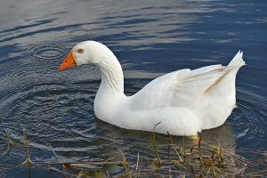 domestic_swan_goose