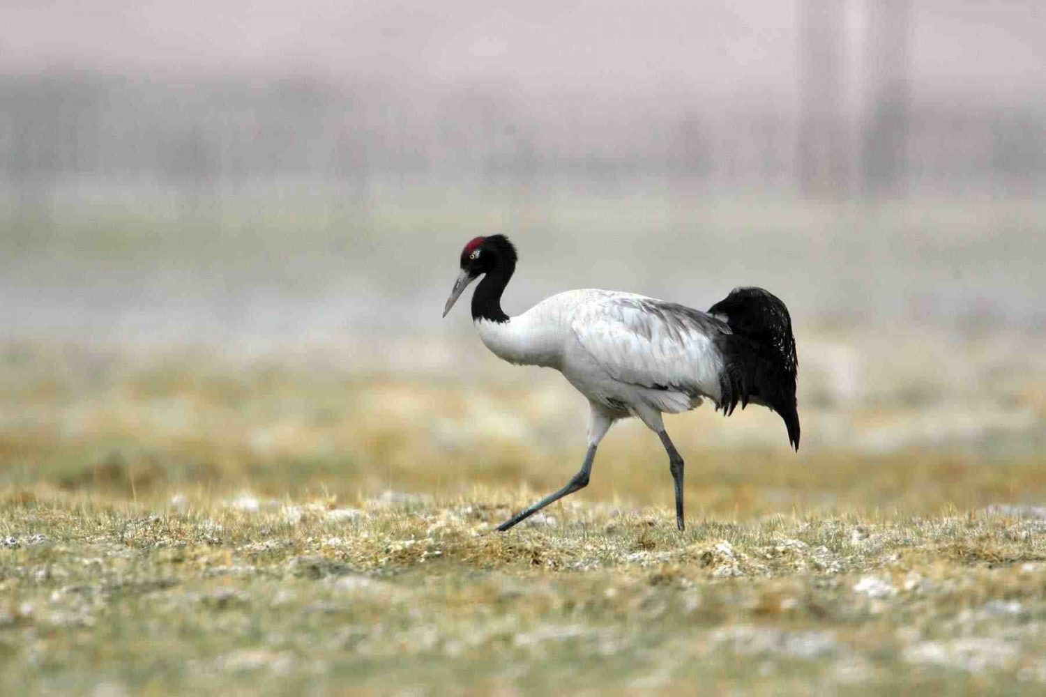 black_necked_crane