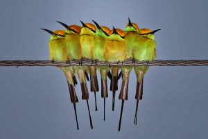 bee_eaters_of_india