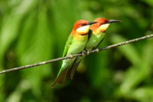 bee_eater_india