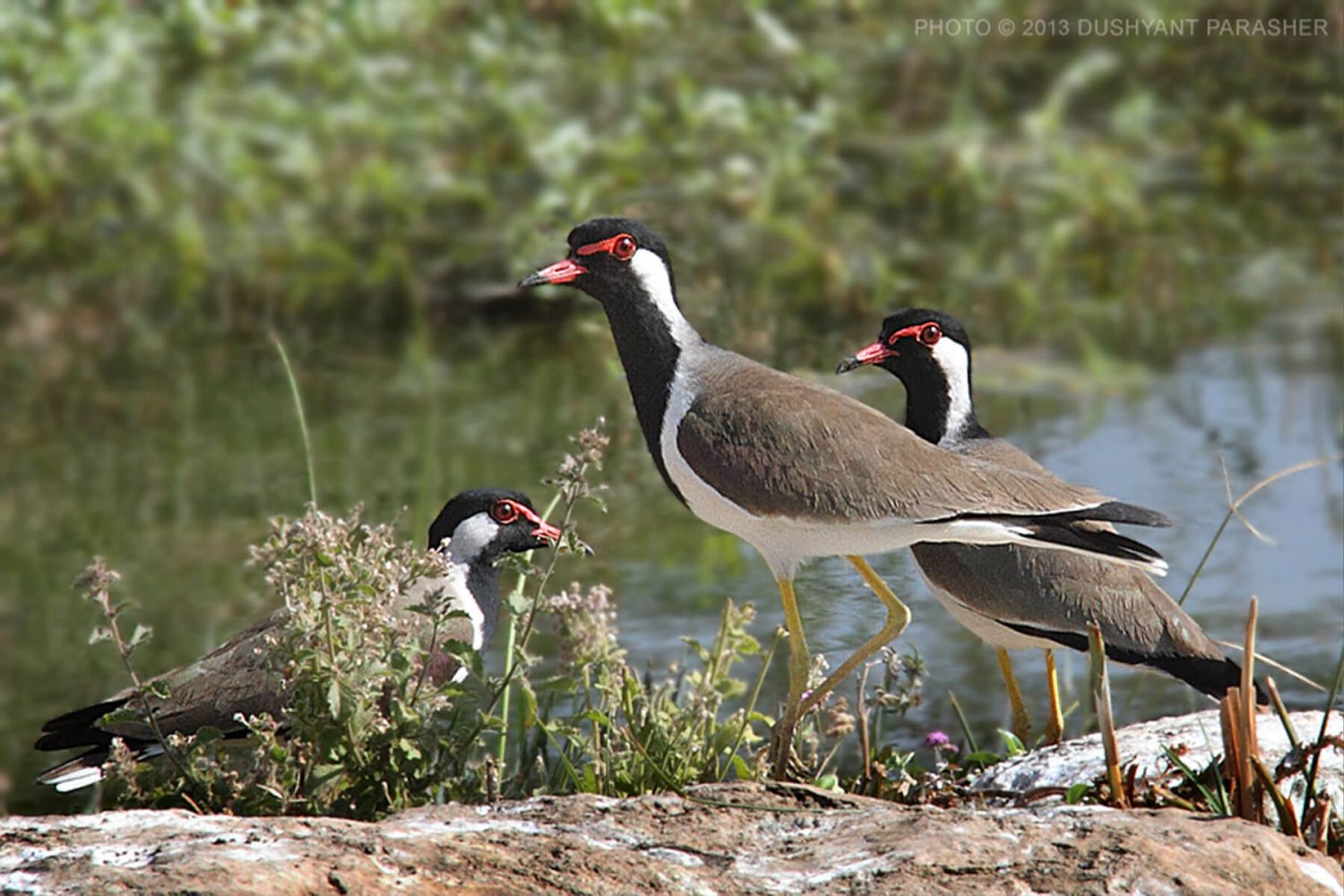 lapwing_bird