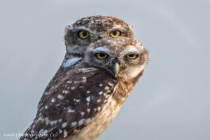 spotted_owlet_4