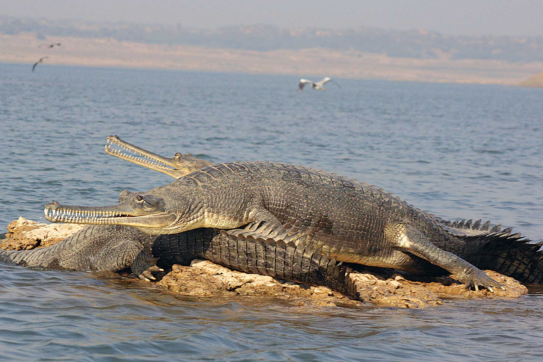 chambal_river_gharial