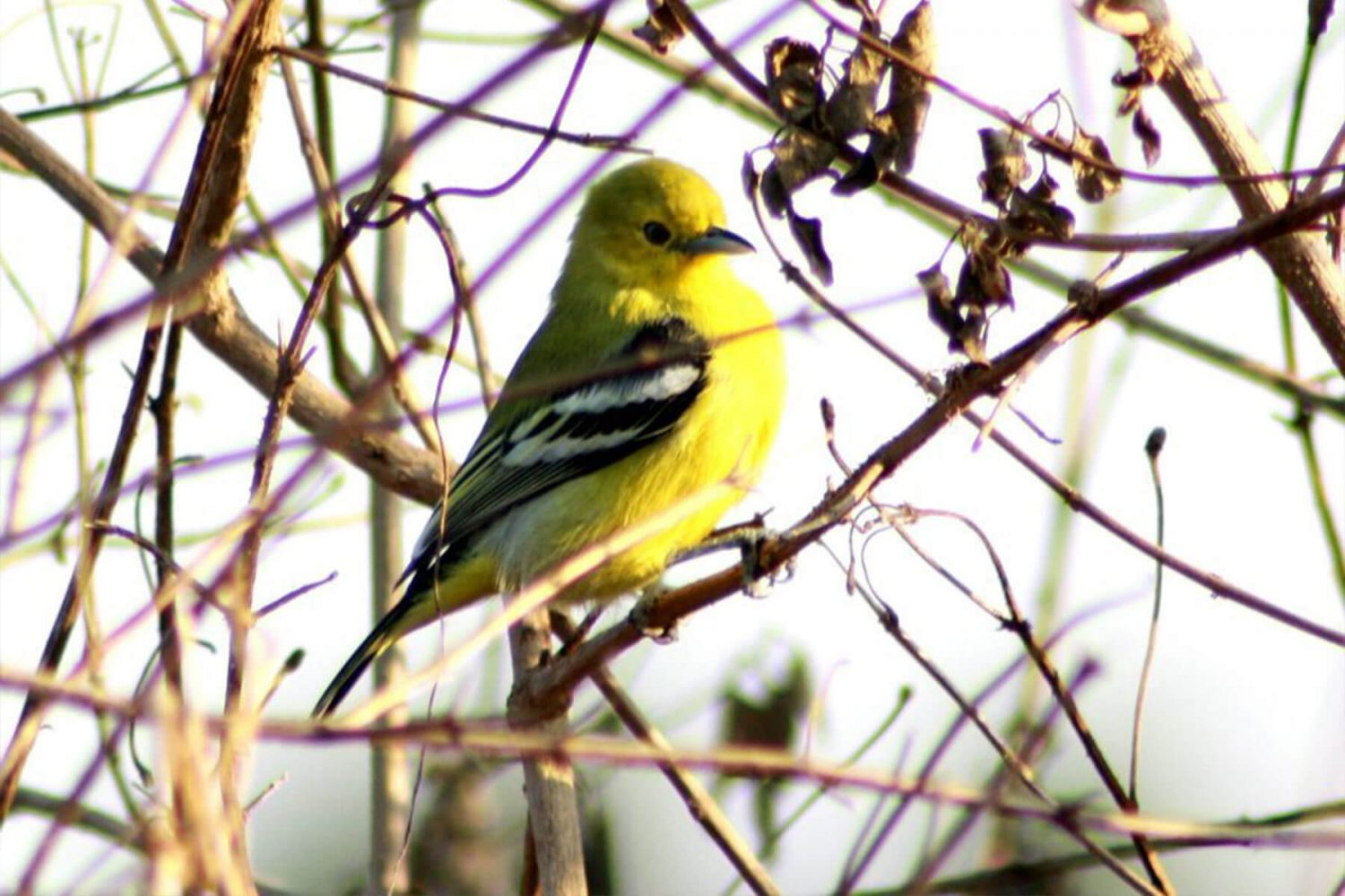 common_iora