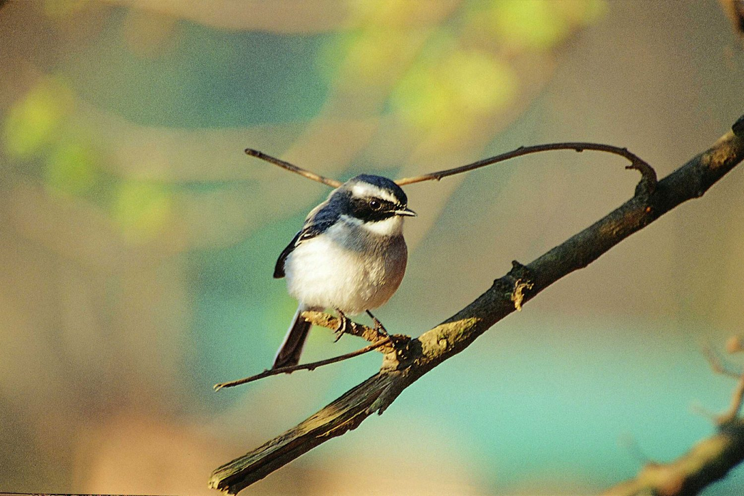 grey_headed_tit