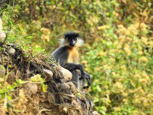 grey_langur_in_india