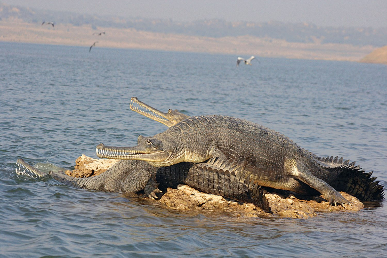 chambal_river_sanctuary