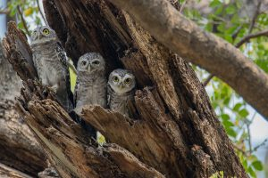 spotted_owlet_3
