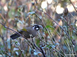 black_faced_laughingthrush
