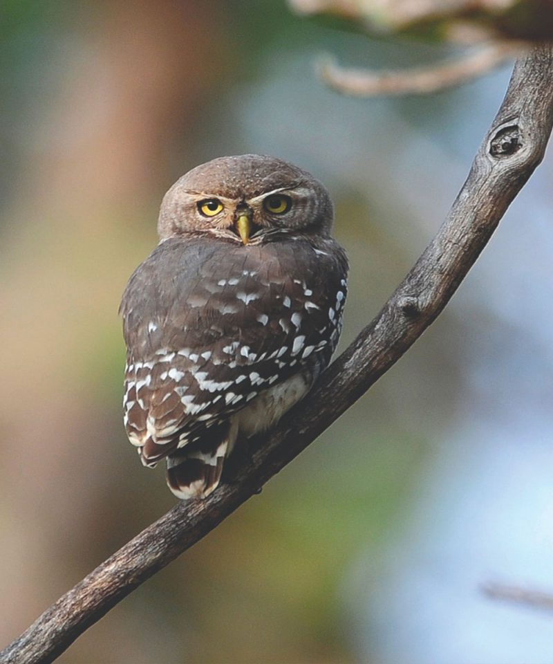 forest_owlet