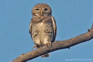 forest_owlet_india