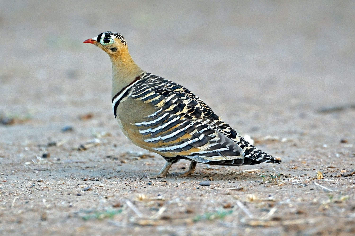 painted_sandgrouse