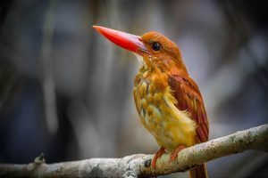 ruddy_kingfisher