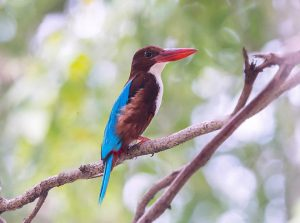list_of_birds_found_in_assam