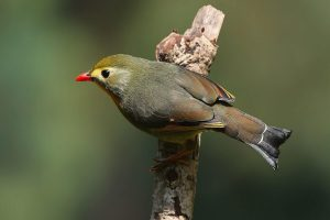 pangot_india_birdwatching