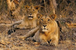 gir_national_park_gujarat