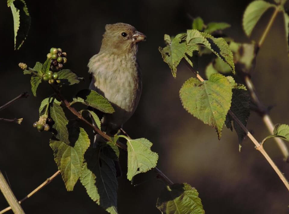 common_rosefinch_bhopal