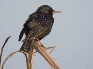common_starling_black_birds