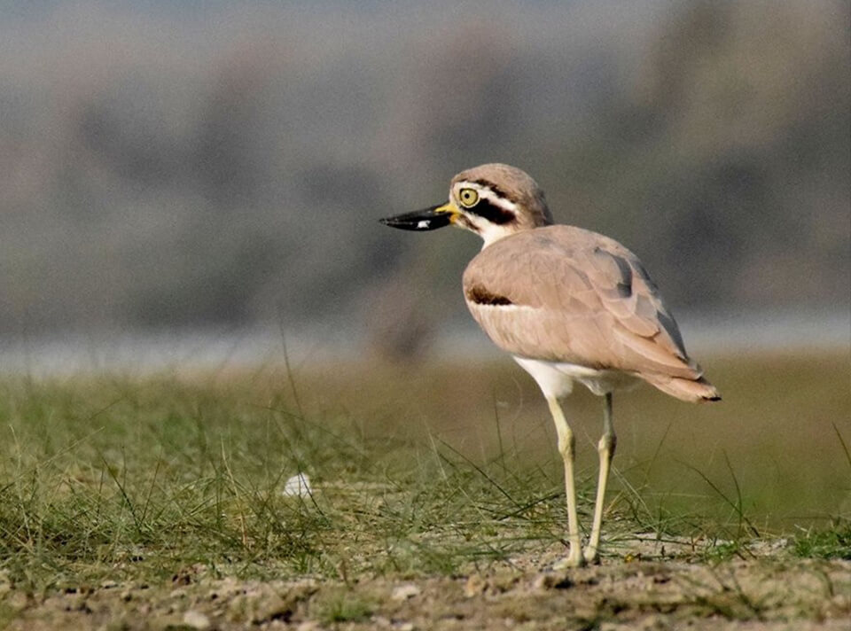 great_thick_knee_narora