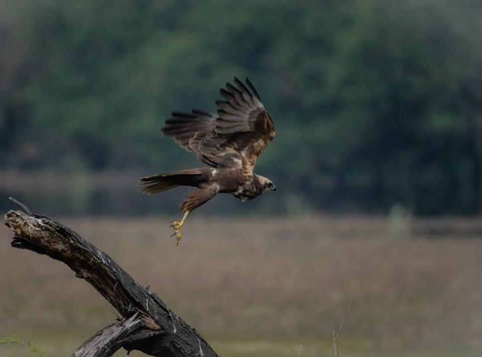 marsh_harrier_bharatpur