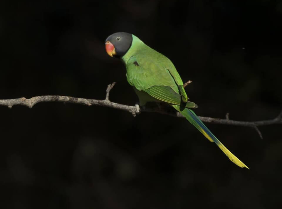 plum_headed_parakeet_sattal