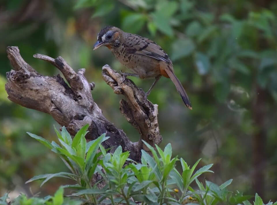rufous_chinned_laughingthrush_sattal