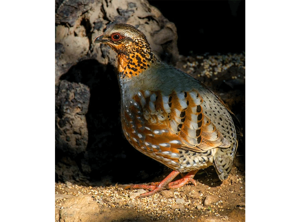 rufous_throated_partridge_sattal